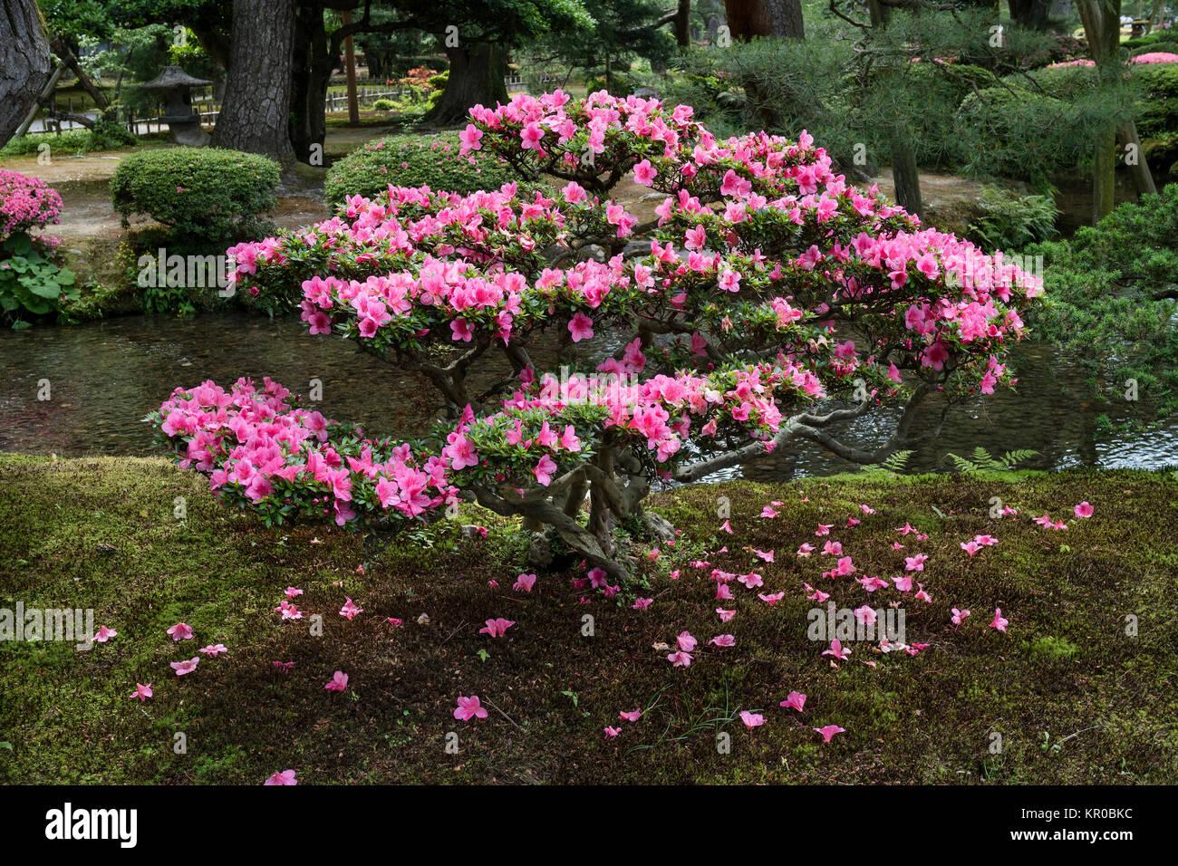 Kanazawa, Japan, 9. Juni 2017: rosa blühende Azalee Strauch in Kanasawa Gyokuseninmaru Garten am Schloss im Frühling Stockfoto