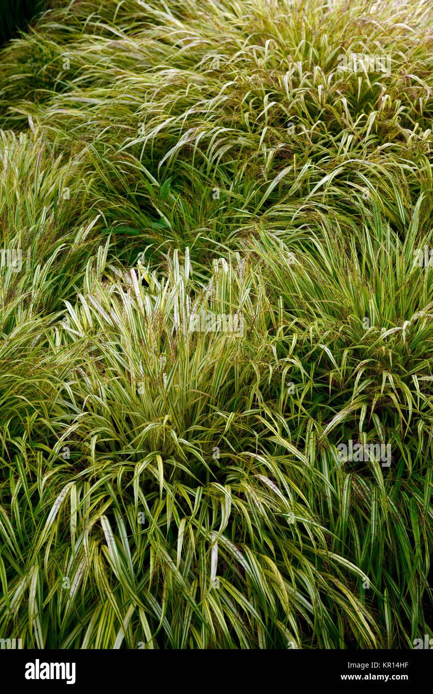 Hakonechloa macra Aureola, Goldene japanischen Wald, Gras, Gräser, bunte, Laub, Blätter, Schatten, Schatten, Stockbild
