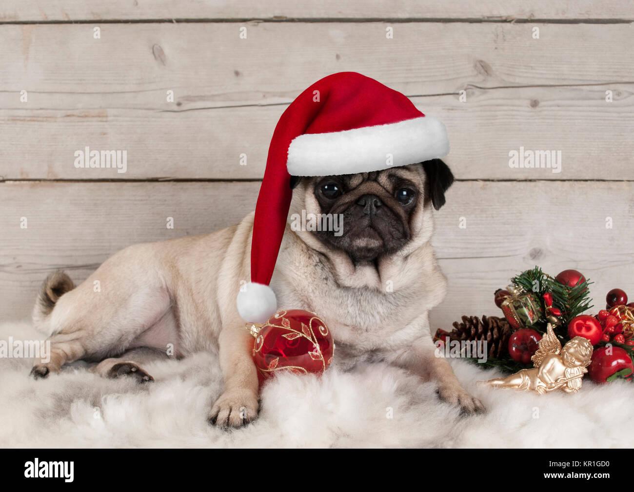 Mops Bilder Weihnachten.Schöne Weihnachten Mops Hund Welpe Liegend Auf Lammfell Decke Mit