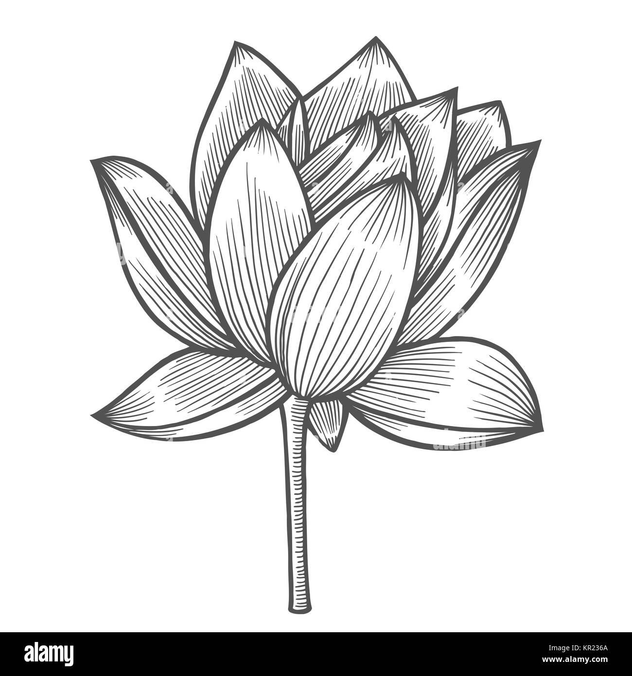 Seerose Blume Illustration, Linienmuster. Vektorgrafiken. Malbuch ...