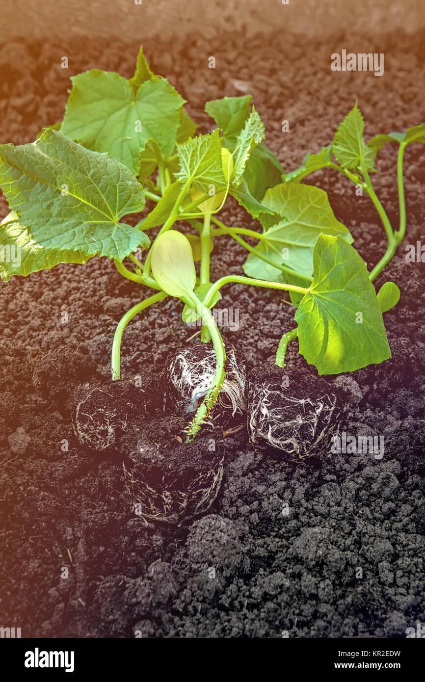 Cucumber Ground Soil Stockfotos & Cucumber Ground Soil Bilder - Alamy