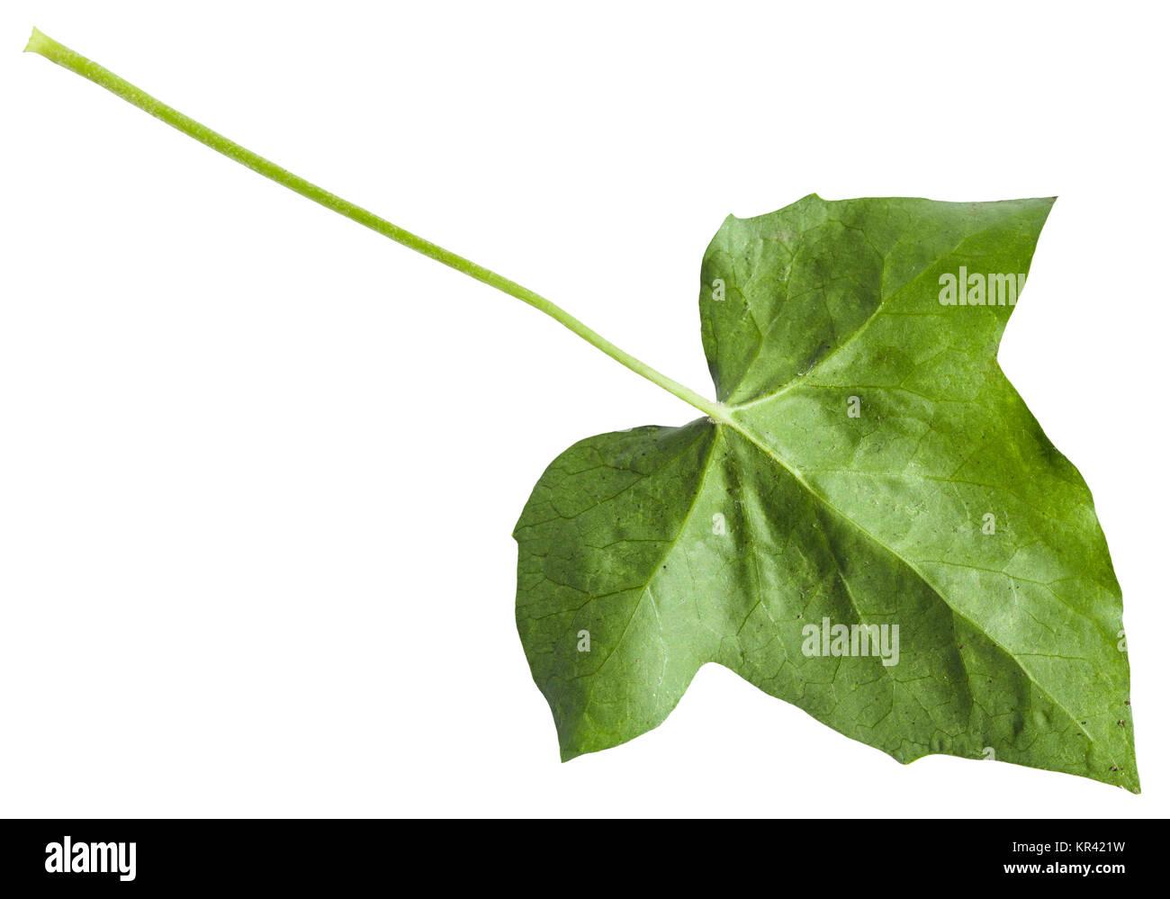 Rückseite Der Grünen Blatt Der Hedera (Efeu) Pflanze