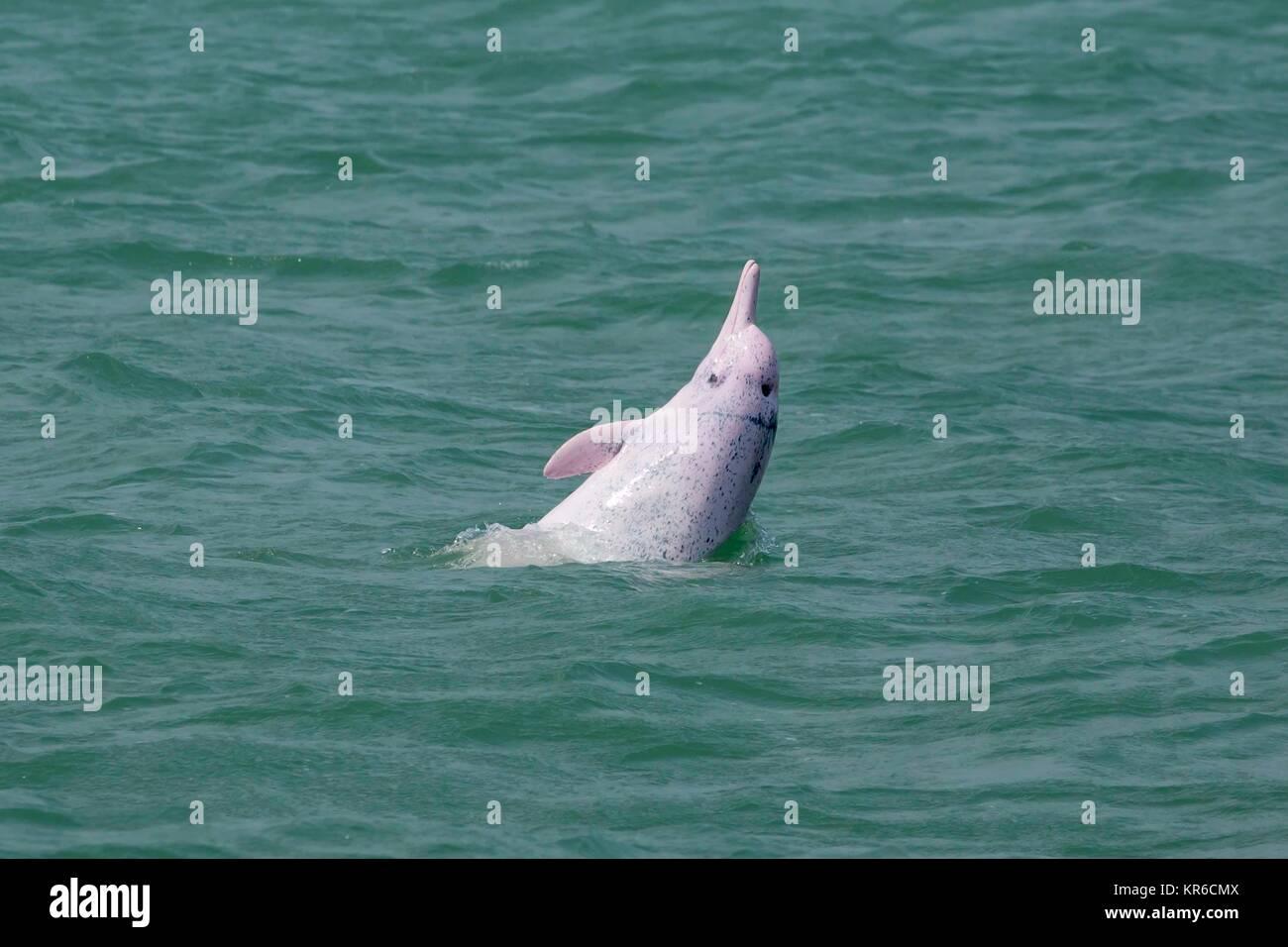 Indopazifik Buckelwale Delphin/Chinesische Weiße Delphin/Pink Dolphin (Sousa Chinensis) - High speed Fähre Stockbild