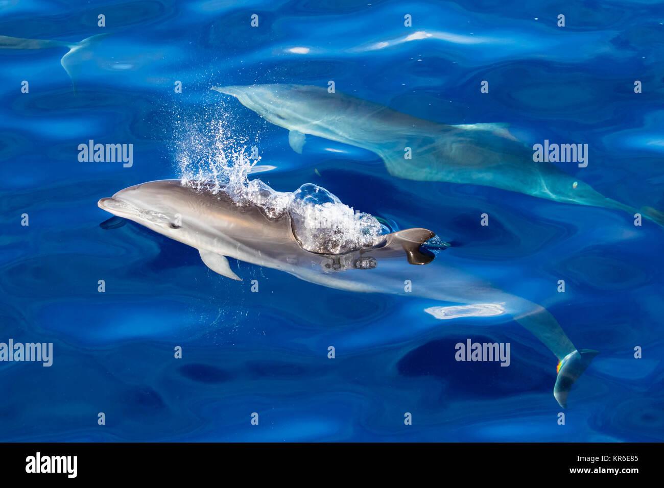 Fraser's Dolphin (Lagenodelphis hosei) oder den Sarawak dolphin, in der Nähe der Yacht in einer großen Stockbild