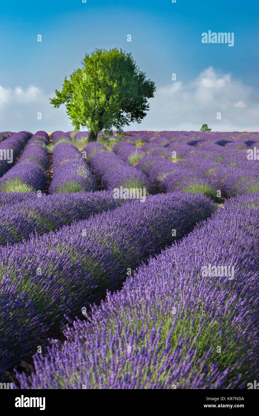 Zeilen des Lavendels auf dem Plateau von Valensole, Alpes-de-Haute-Provence, Provence, Frankreich Stockbild