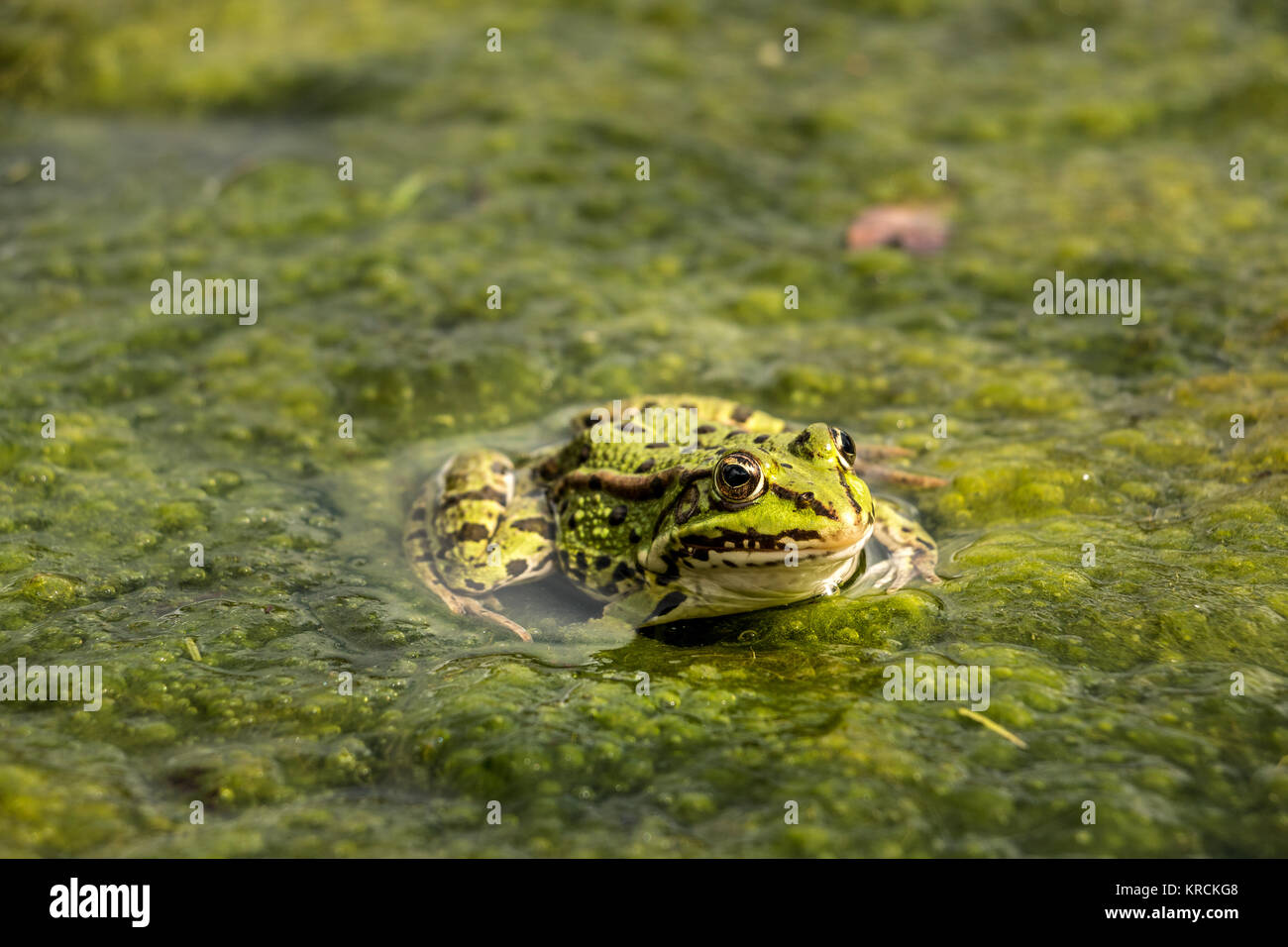 Grüne Frosch im Wasser voller frogspawn Stockbild