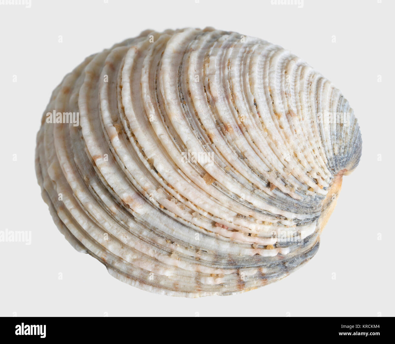 Sea u 200 bu 200 bshell Makro Stockbild