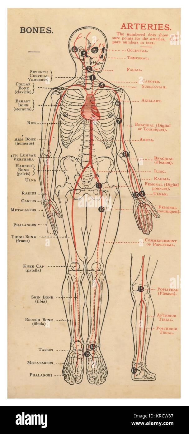 Ein Diagramm des menschlichen Körpers, der mit Details der Knochen ...
