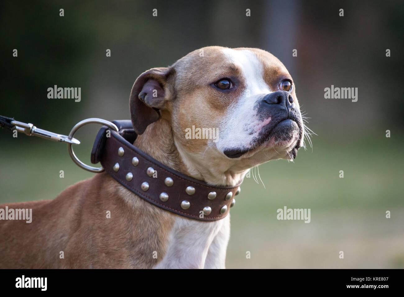Die amerikanische Grube Stier Terrier mit einem Niet Kragen Stockbild