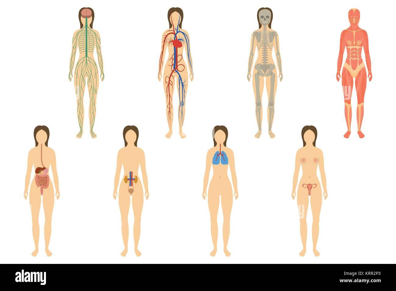 Respiratory Systems Stockfotos & Respiratory Systems Bilder - Alamy