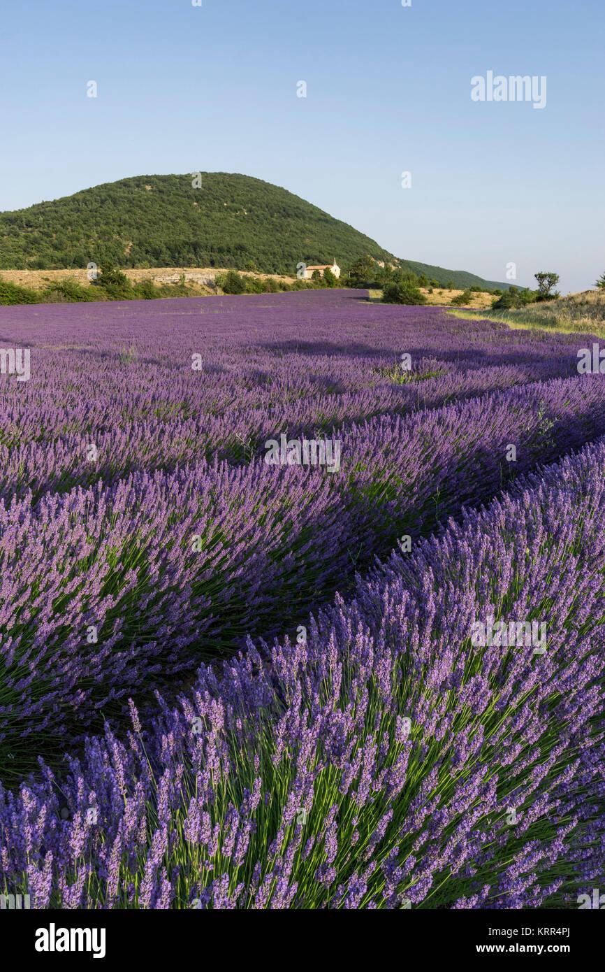 Lavendelfeld, Kapelle, Montagne de Lure, Var, Alpes-de-Haute-Provence, Landschaft, Provence, Frankreich Stockbild