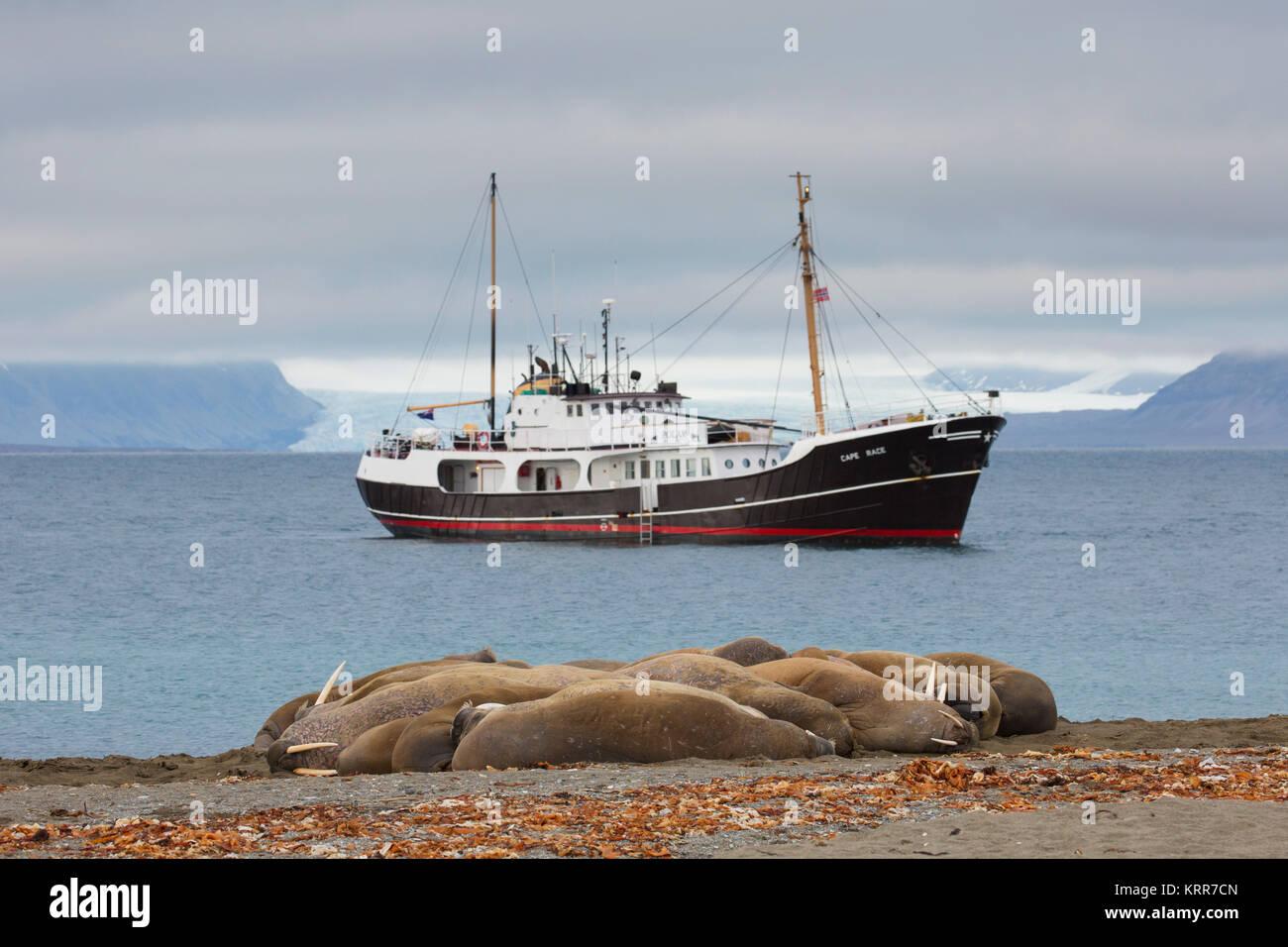 Gruppe der Walrosse (Odobenus rosmarus) ruht auf Strand bei Phippsøya in Sjuøyane, Inselgruppe nördlich Stockbild