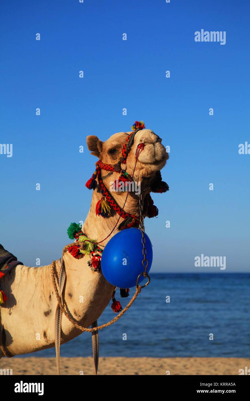 Kamelreiten in Ägypten Stockbild