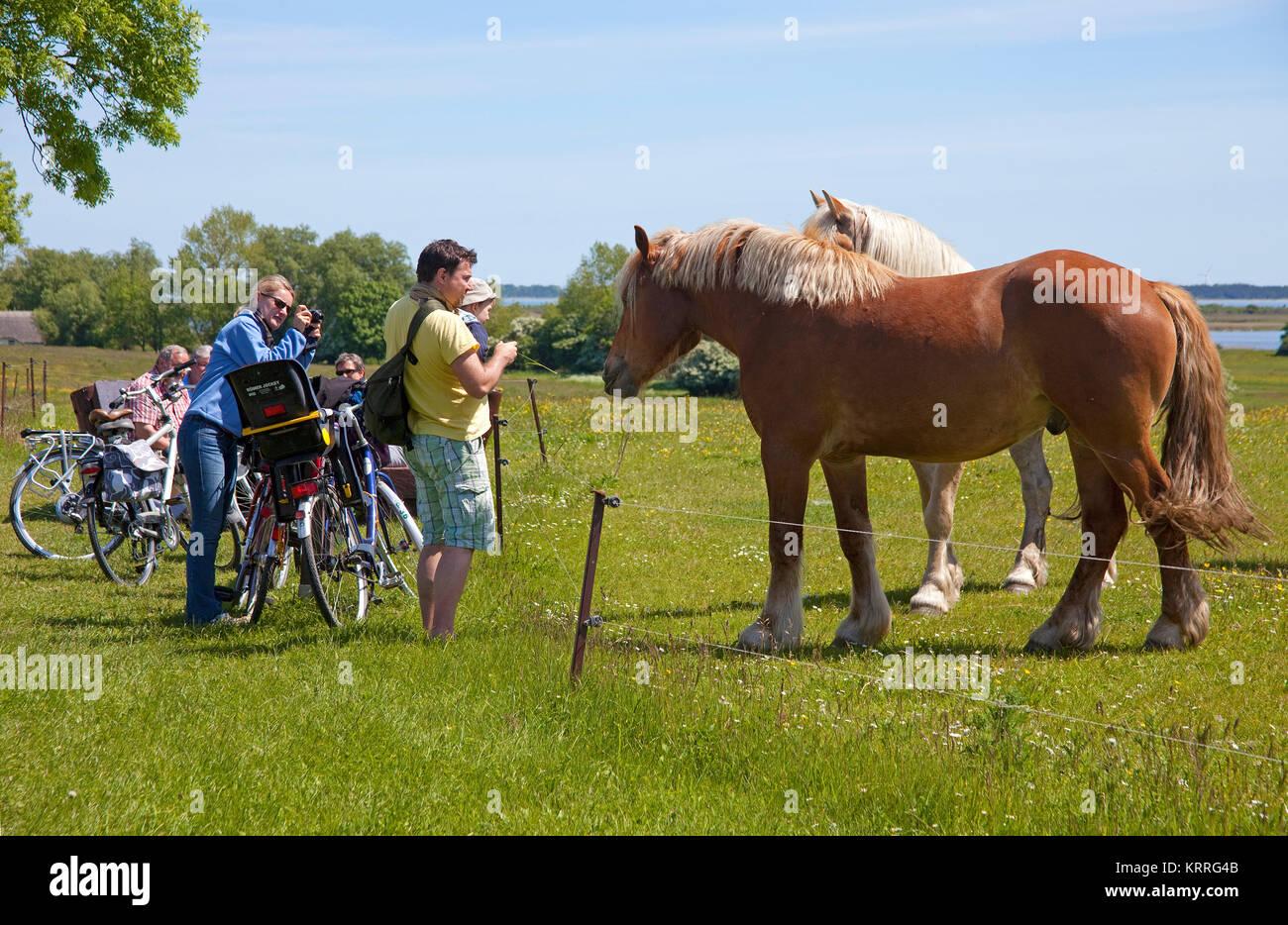 Touristen zu Pferde auf Feld, Hiddensee, Nationalpark 'Vorpommersche National Park', Mecklenburg-Vorpommern, Stockbild