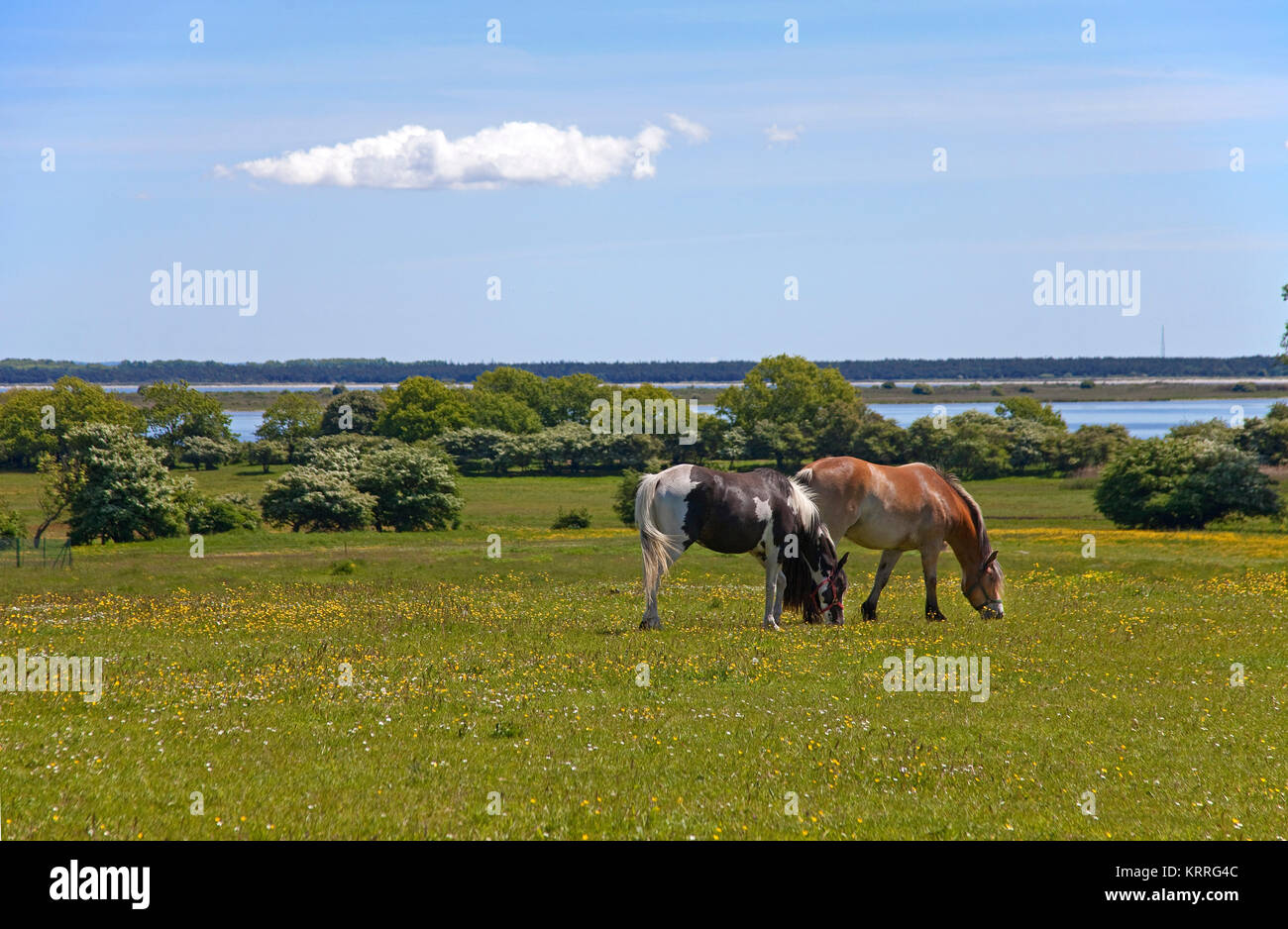 Pferde auf Feld, Hiddensee, Nationalpark 'Vorpommersche National Park', Mecklenburg-Vorpommern, Ostsee, Stockbild
