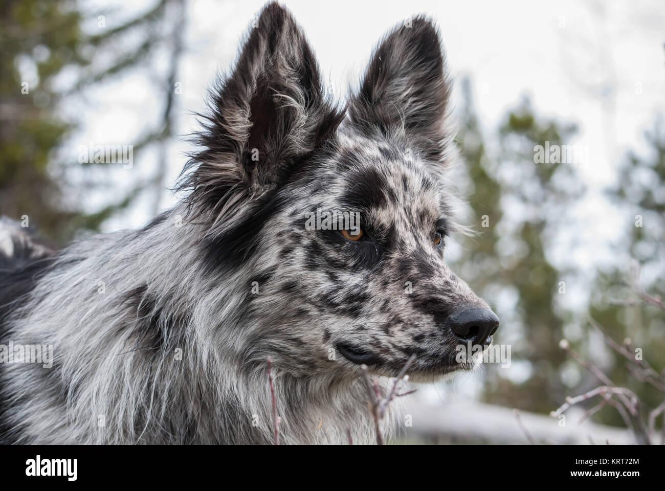 Merle Hund