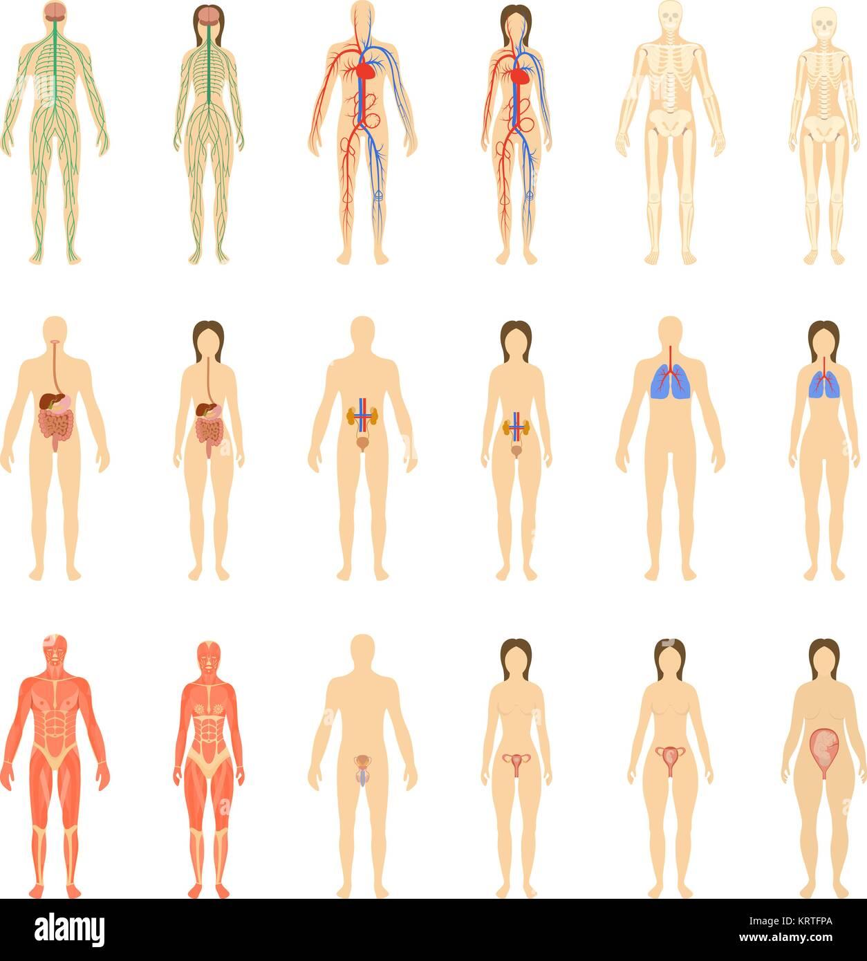 Fantastisch Menschliche Körper Organe Systeme Zeitgenössisch ...