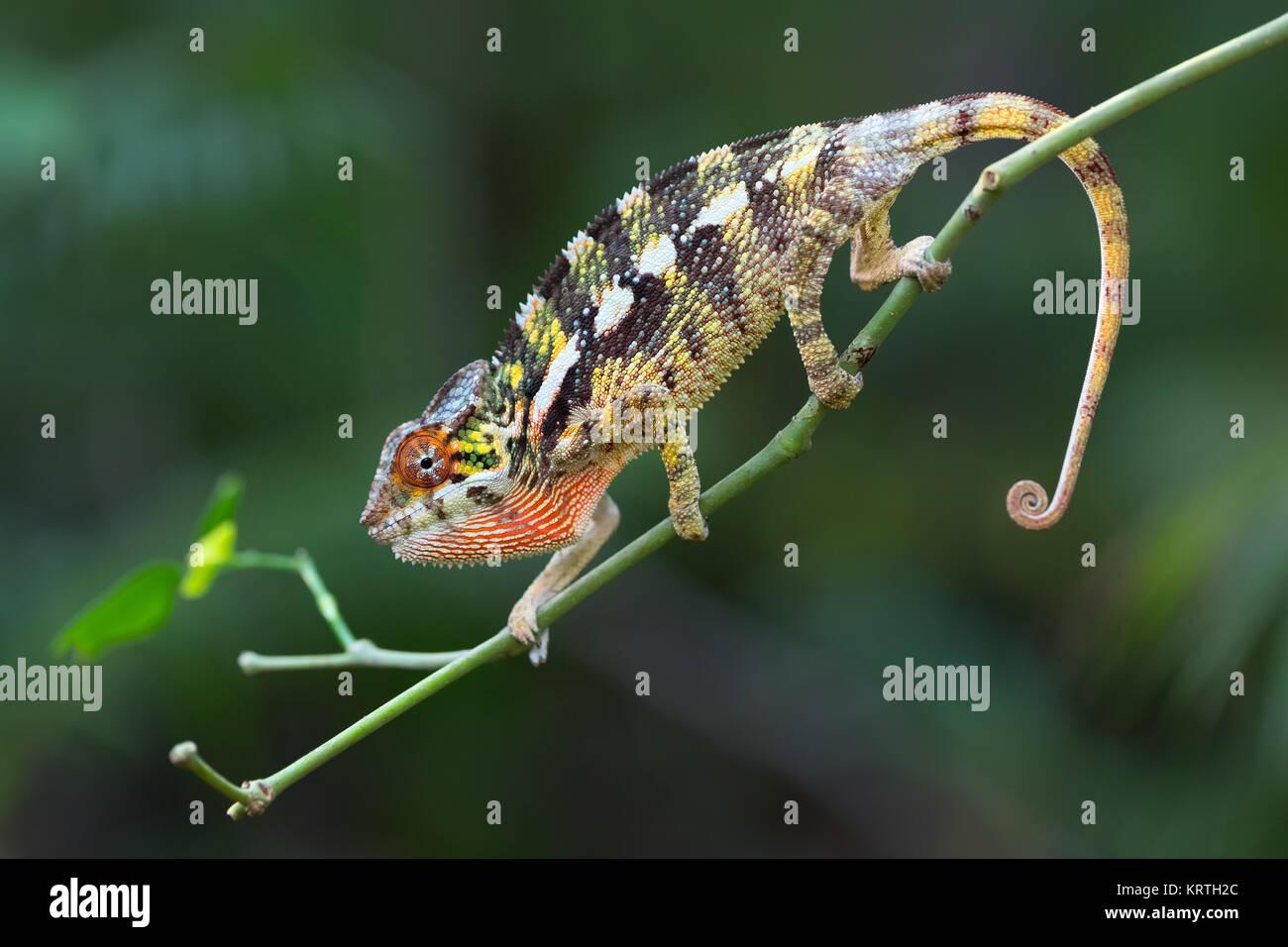 Panther chameleon (Furcifer pardalis) Stockbild