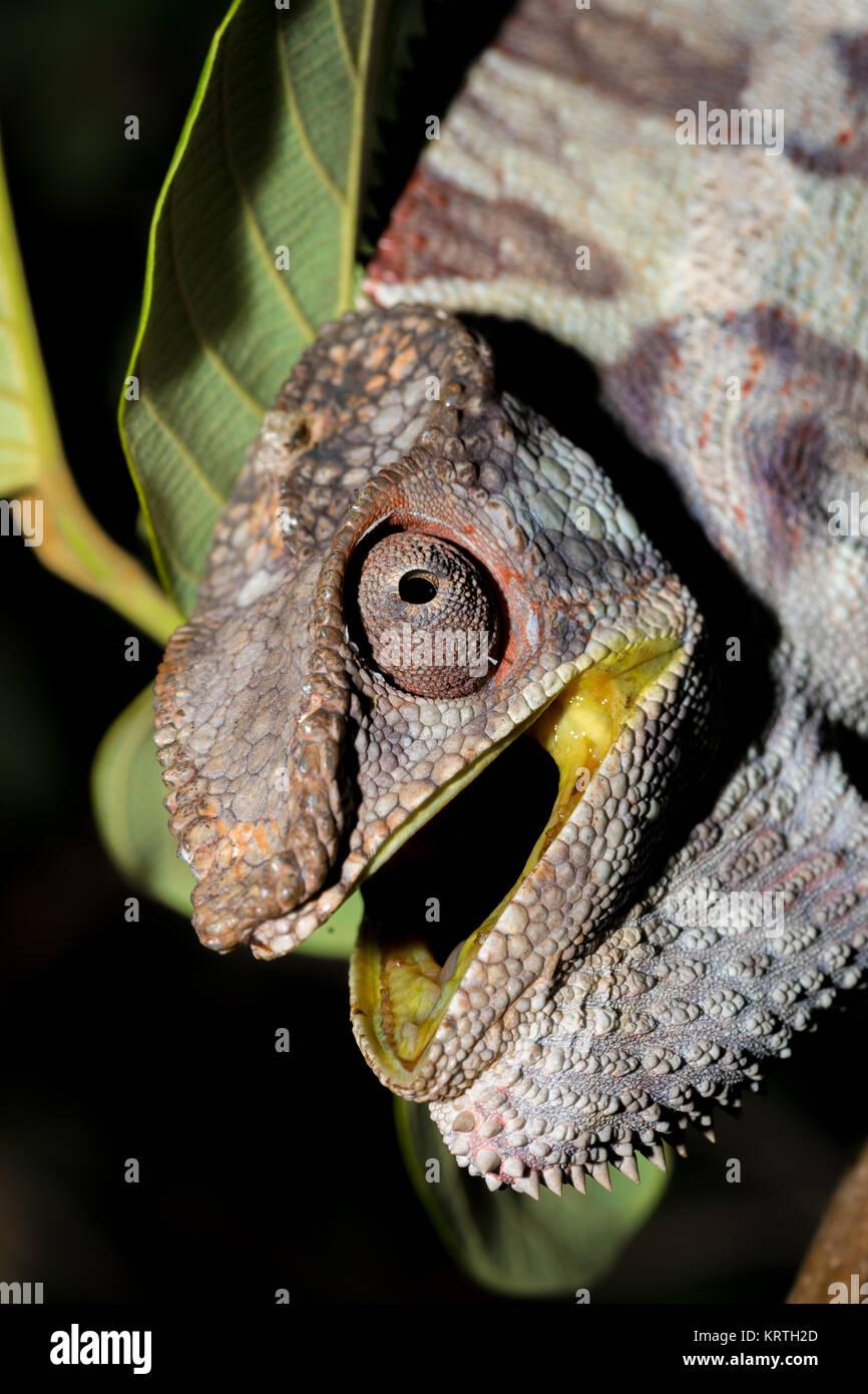 Wütend Panther chameleon (Furcifer pardalis) Stockbild