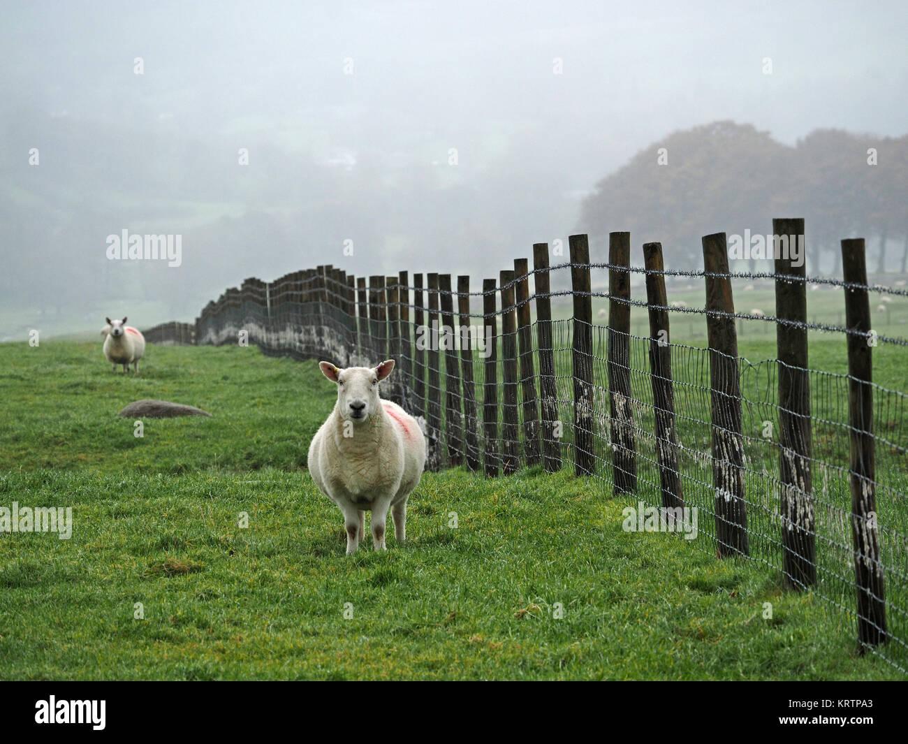 Wire Sheep Fence Uk Stockfotos & Wire Sheep Fence Uk Bilder - Alamy