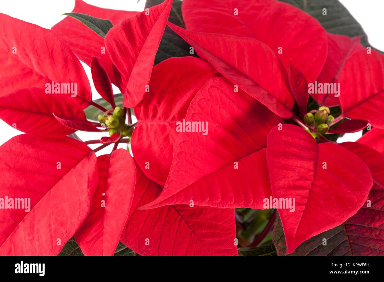 blumen von weihnachten weihnachtsstern auf wei em hintergrund stockfoto bild 169591145 alamy. Black Bedroom Furniture Sets. Home Design Ideas