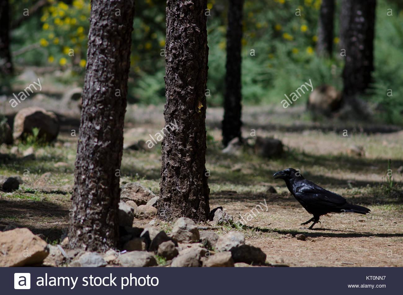 Kolkrabe (Corvus Corax). Bailico. Die nublo ländlichen Park. Tejeda. Gran Canaria. Kanarischen Inseln. Spanien. Stockbild