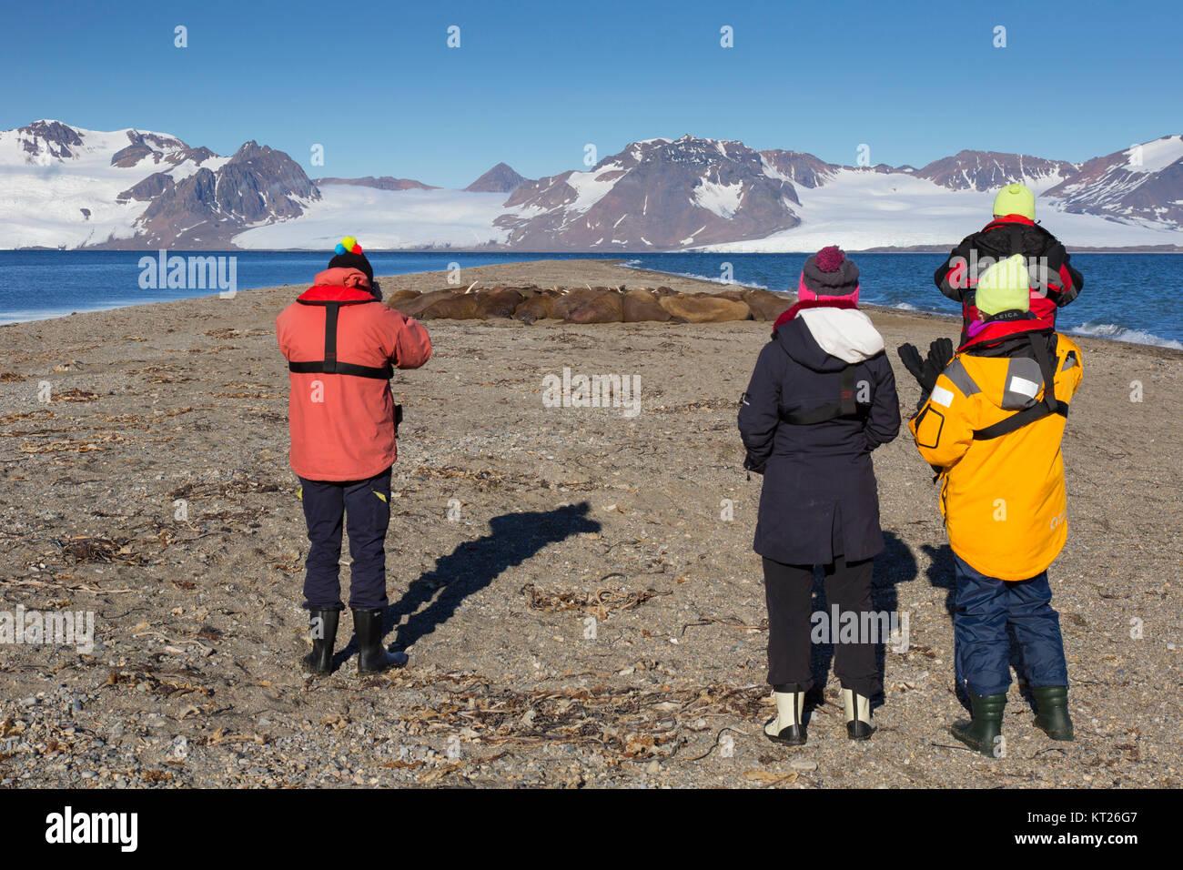 Eco - Touristen beobachten Gruppe männlicher Walrosse (Odobenus rosmarus) am Strand von Phippsøya in Sjuøyane, Nordaustlandet, Stockfoto