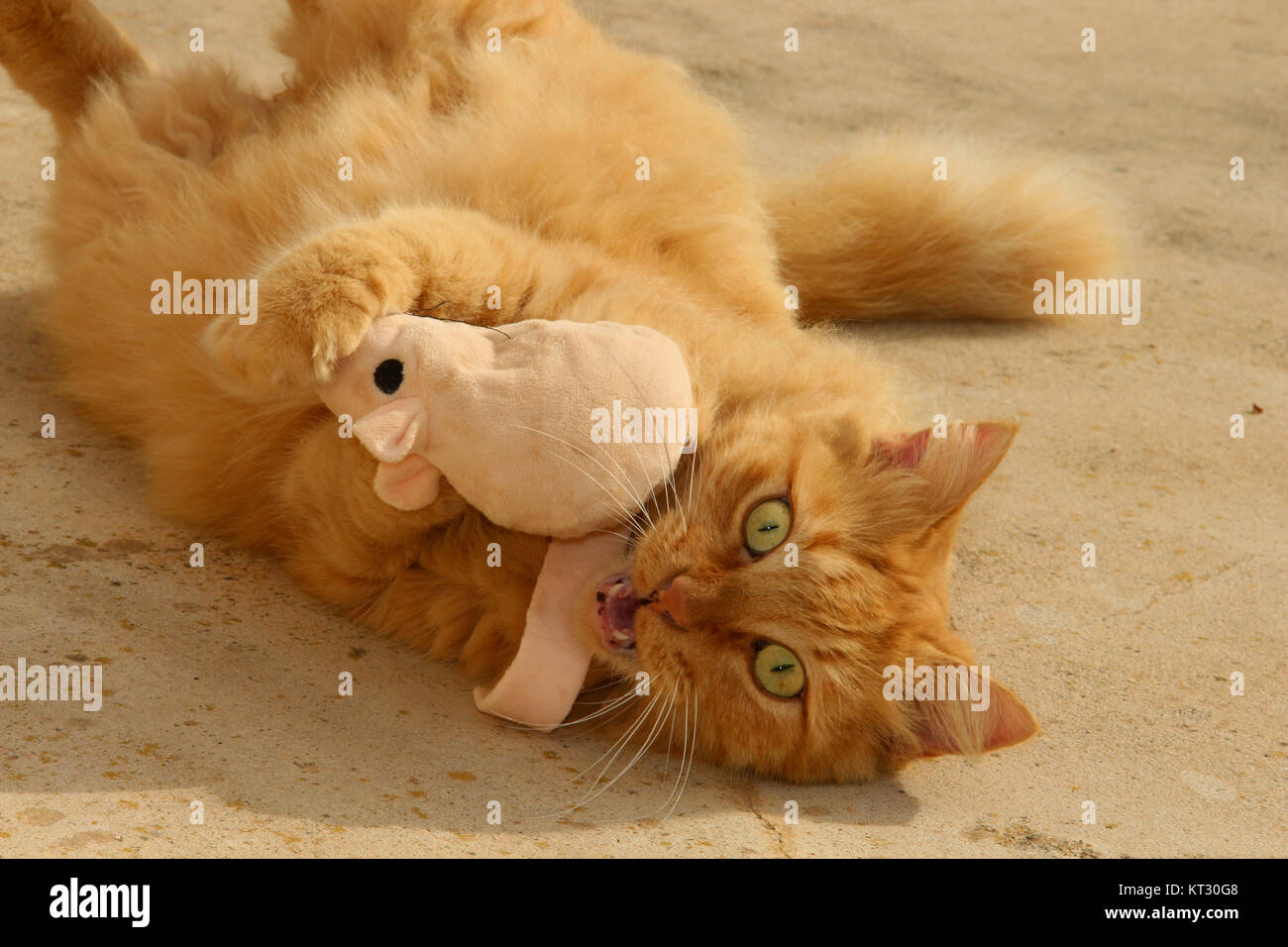 Crazy cat Mit cat-nip. Stockfoto