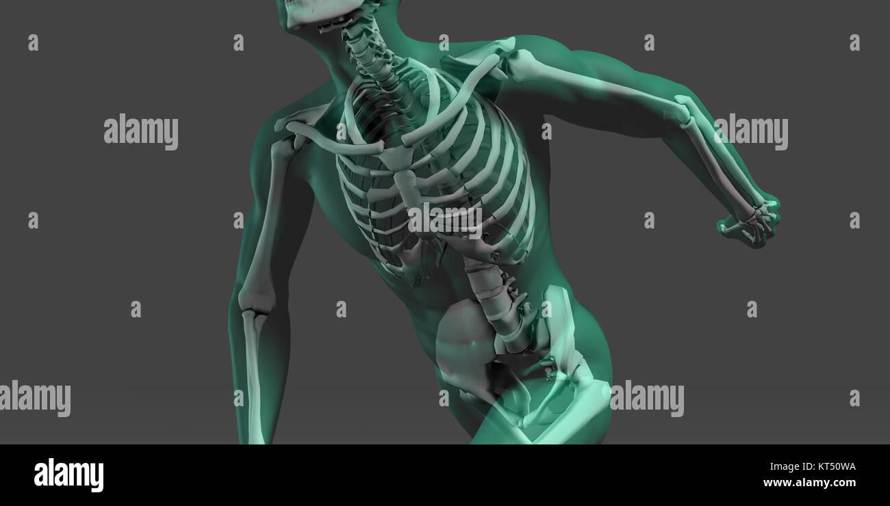 Die menschliche Anatomie mit sichtbaren Skelett und Muskeln ...