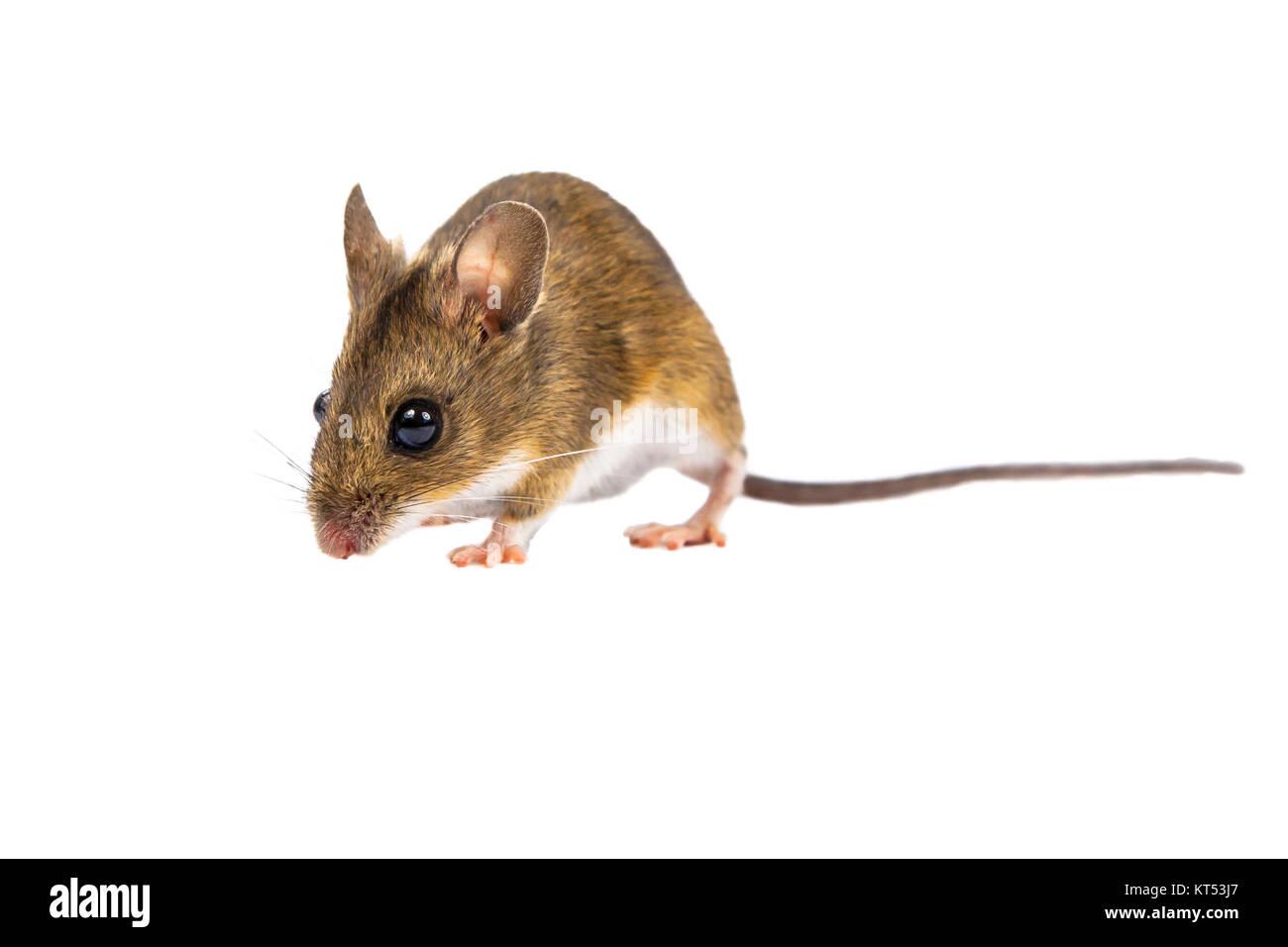 Walking Feld Maus mit niedlichen braunen Augen schauen in die Kamera auf weißem Hintergrund Stockbild