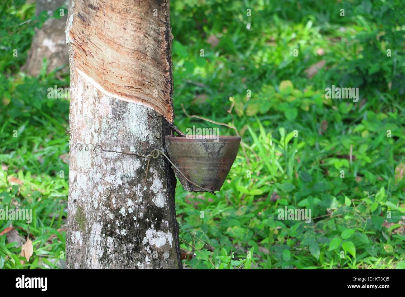 Gummi Baum Im Garten Natur Stockfoto Bild 169830589 Alamy
