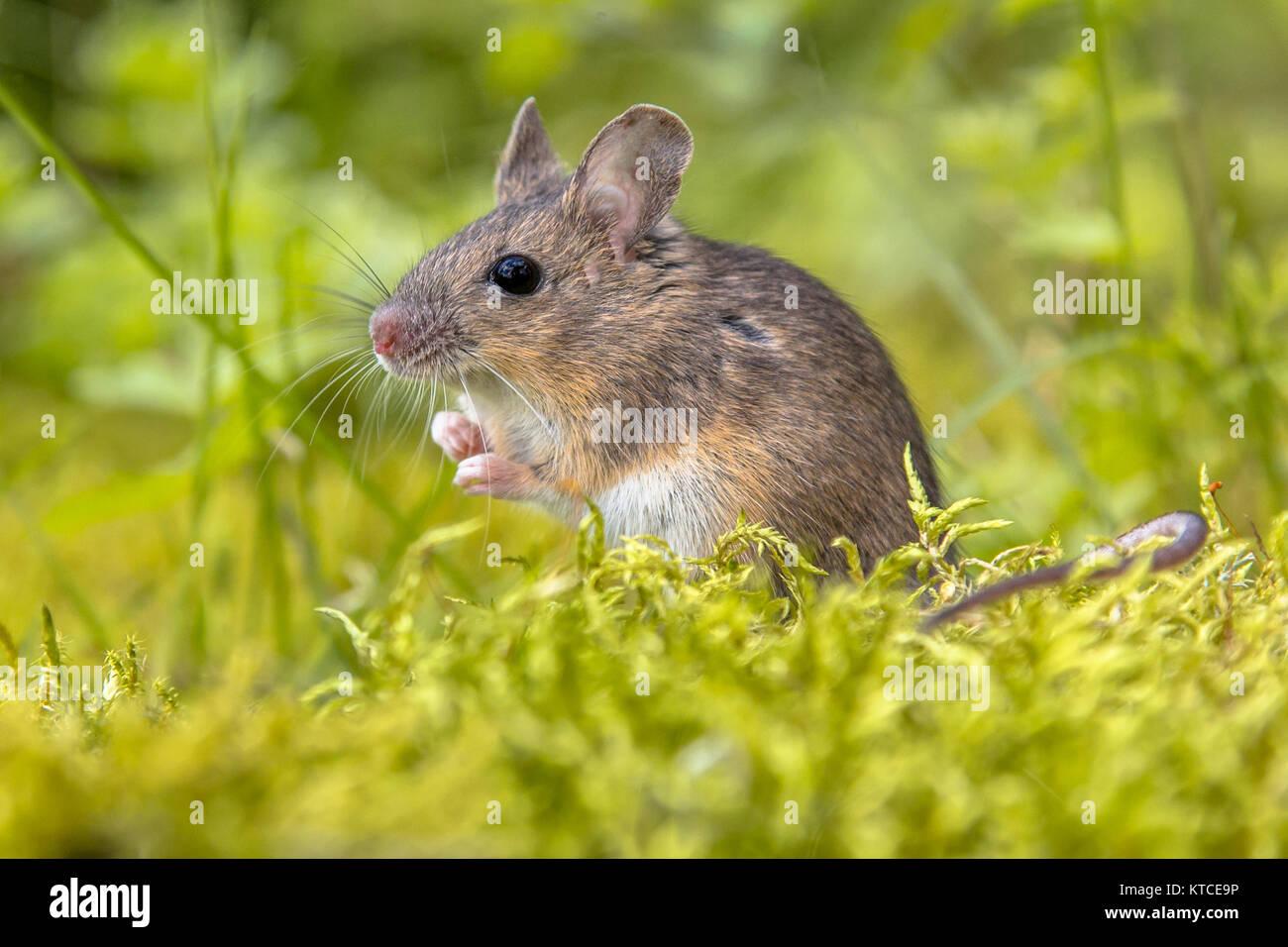 Cute wild Holz Maus (APODEMUS SYLVATICUS) im grünen Moos Natur und schauen in die Kamera Stockbild