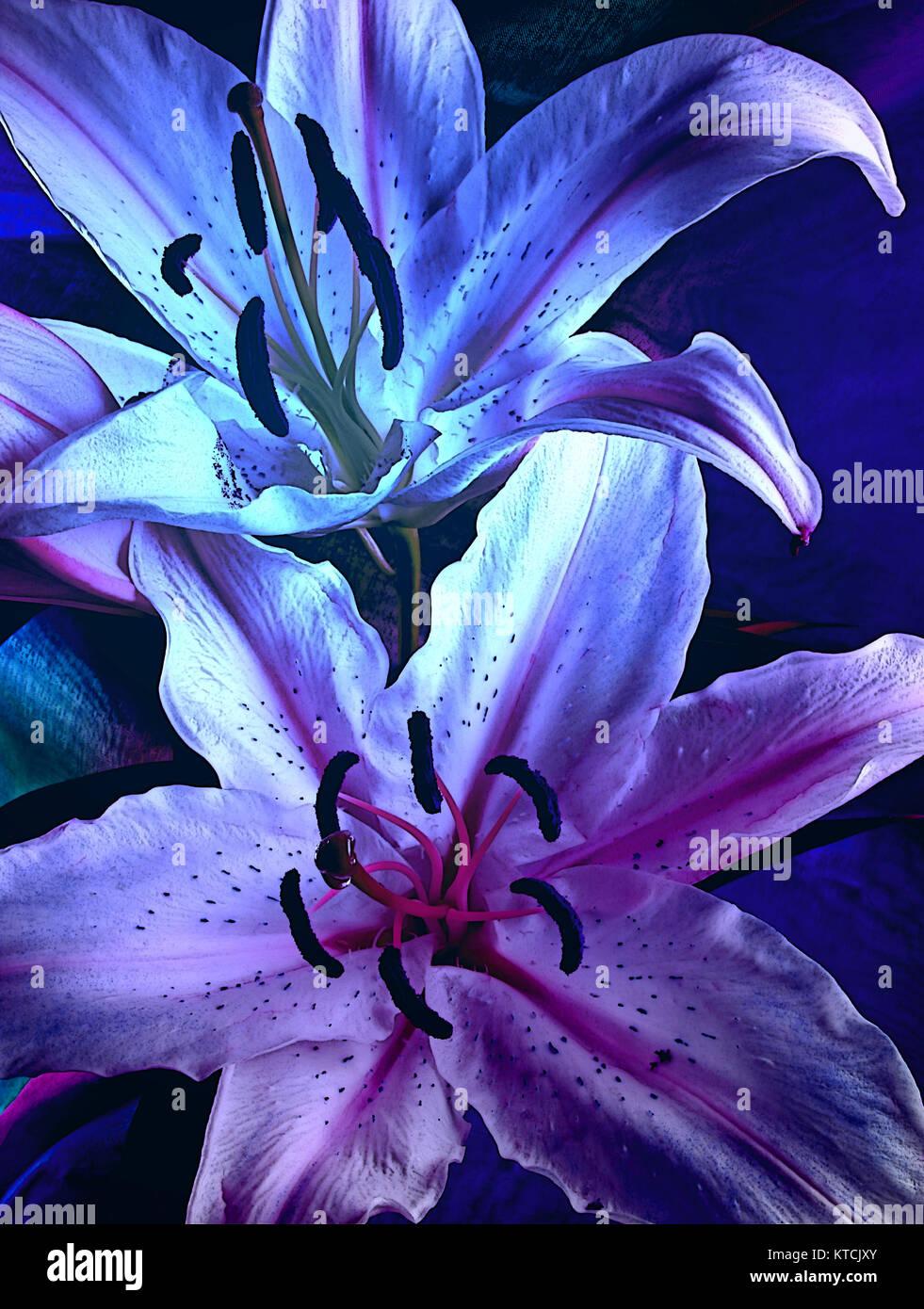 Schwüle Moody Blue Lilien   Zwei Blau Lila Grafische Lilien Mit Dunklen  Beleuchtung, Ideal Für Eine Wand Leinwand