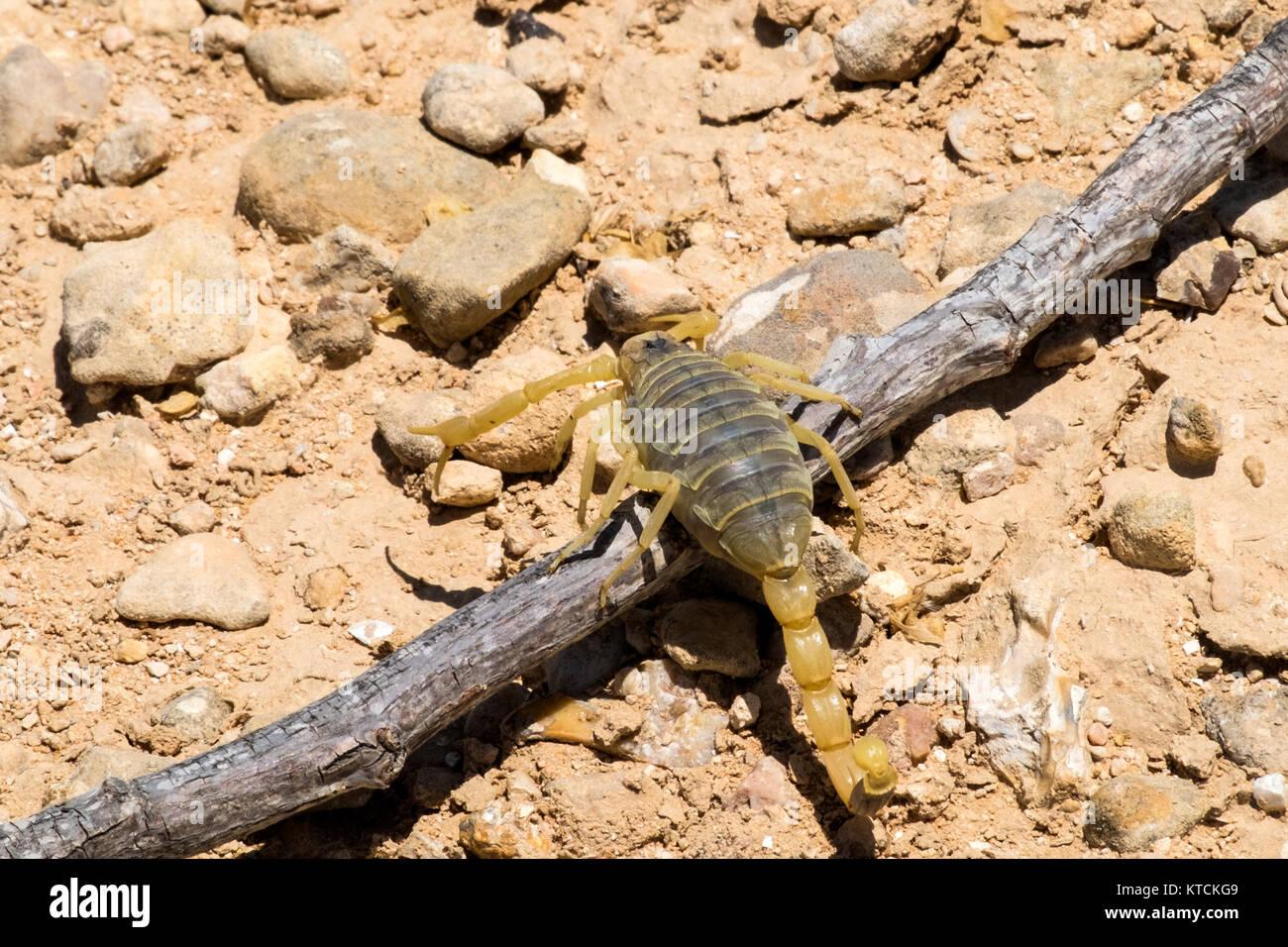 South african rock skorpion oder the flat rock scorpion, hadogenes.