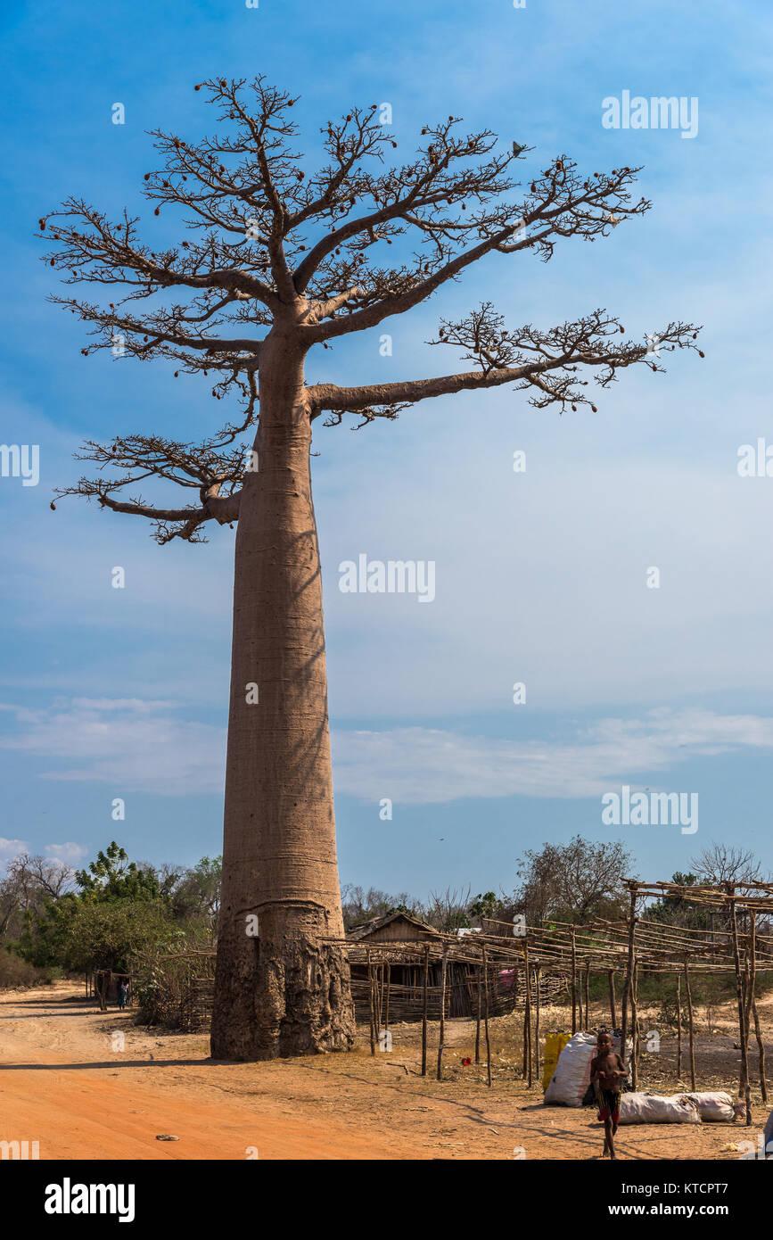 ein riesiger affenbrotbaum adansonia grandidieri an der. Black Bedroom Furniture Sets. Home Design Ideas