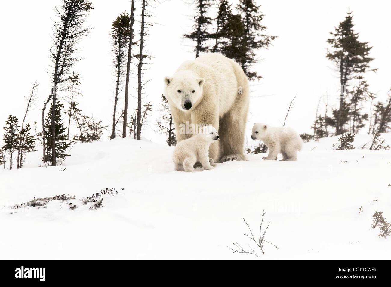 Eisbär BABYS KUSCHELN MIT MAMA IN DER TUNDRA IN WAPUSK NATIONAL PARK. Stockbild