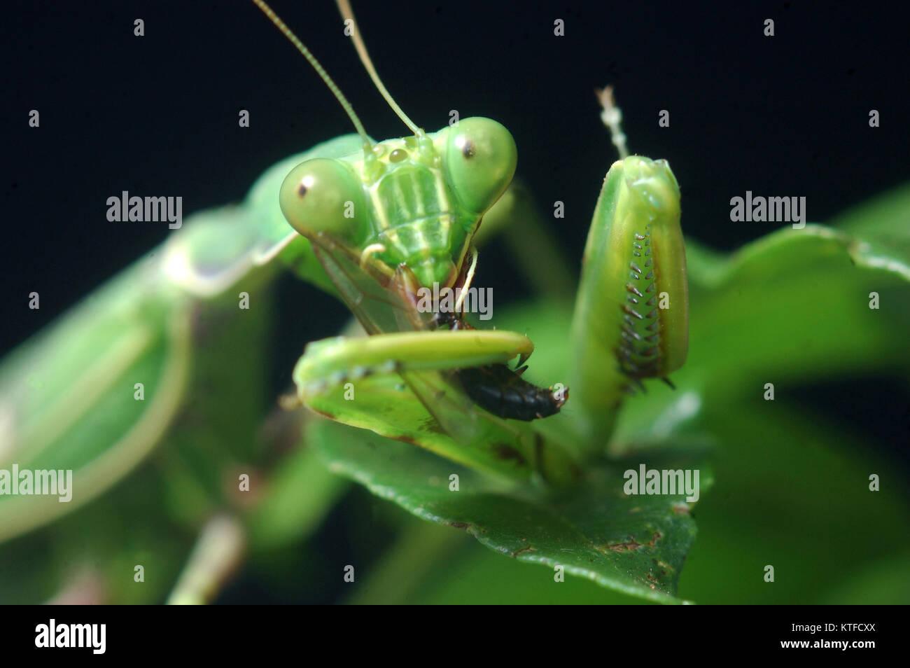 Gottesanbeterin, Essen und anderen Insekten in Tamil Nadu, Südindien entdeckt Stockfoto