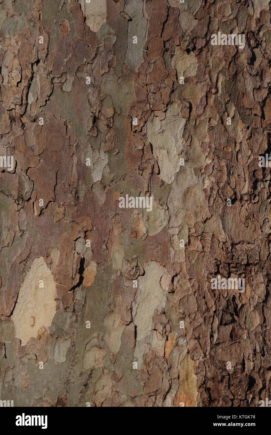 Flockige lückenhaft Baum Rinde von London Plane Tree (Plantanus x Hispanica). Hyde Park, UK. Dezember 2017. Stockfoto