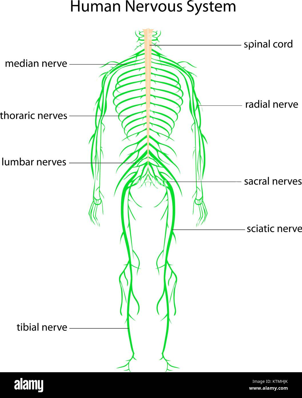 Charmant Bilder Des Menschlichen Körpers Nervensystem Bilder ...
