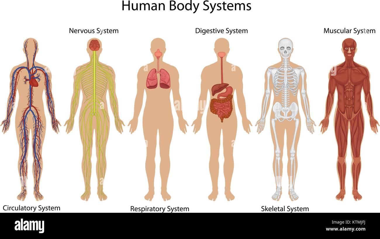 Ziemlich Anatomie Systeme Des Menschlichen Körpers Fotos ...