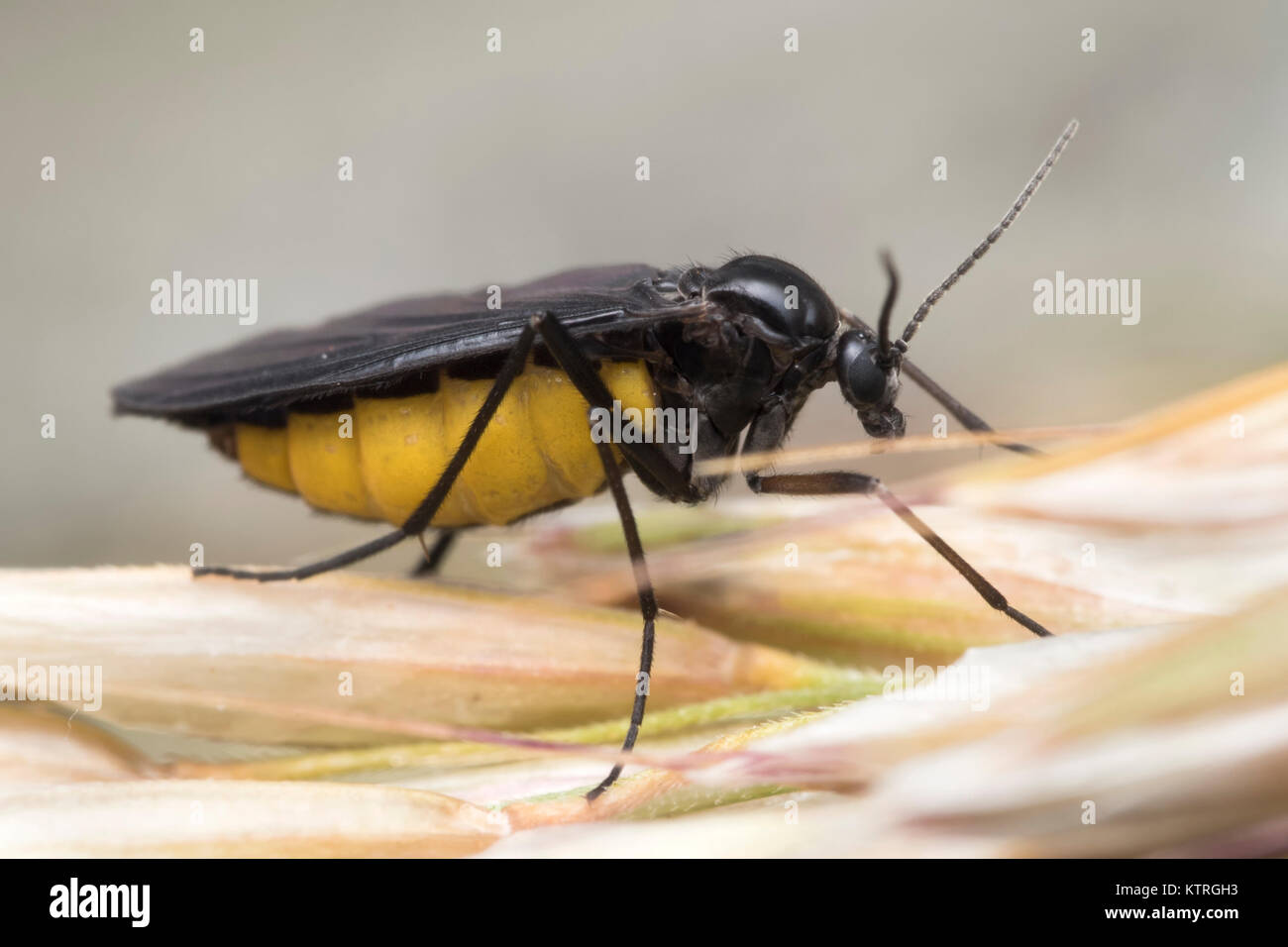 gnats stockfotos gnats bilder alamy