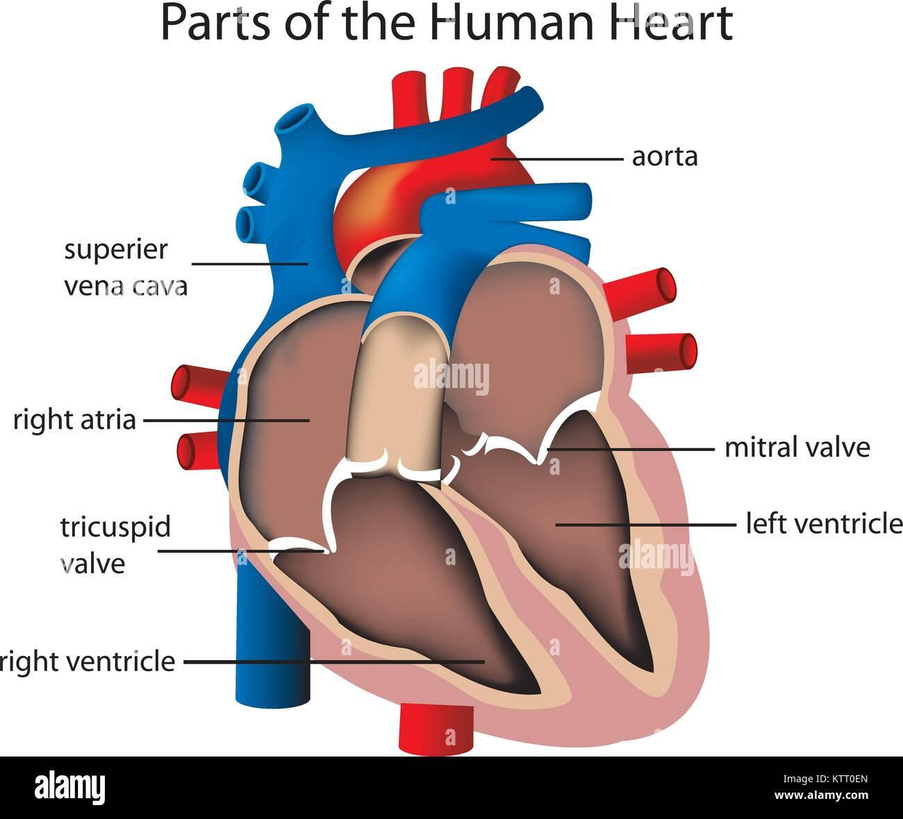 Abbildung der Teile des Herzens Vektor Abbildung - Bild: 170172317 ...