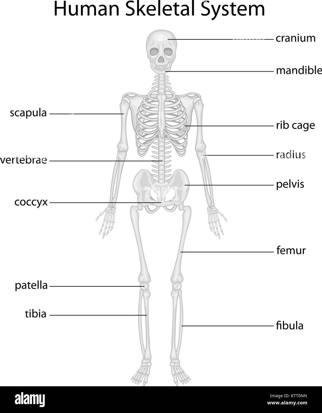 Ungewöhnlich Menschliches Skelett Diagramm Mit Etiketten ...