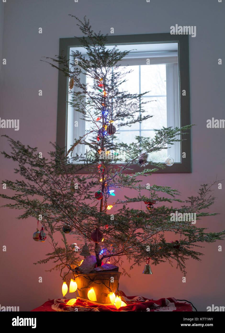 Weihnachtsbaum Nadeln.Eine Traurige Hemlock Weihnachtsbaum Verlieren Viele Nadeln