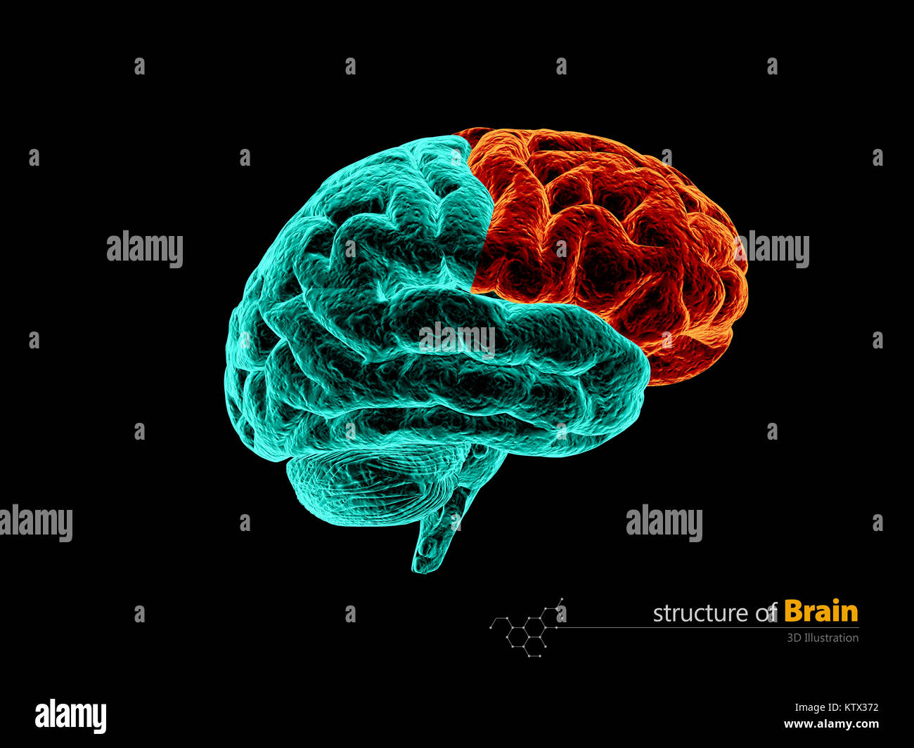 Brain Frontal Section Stockfotos & Brain Frontal Section Bilder - Alamy