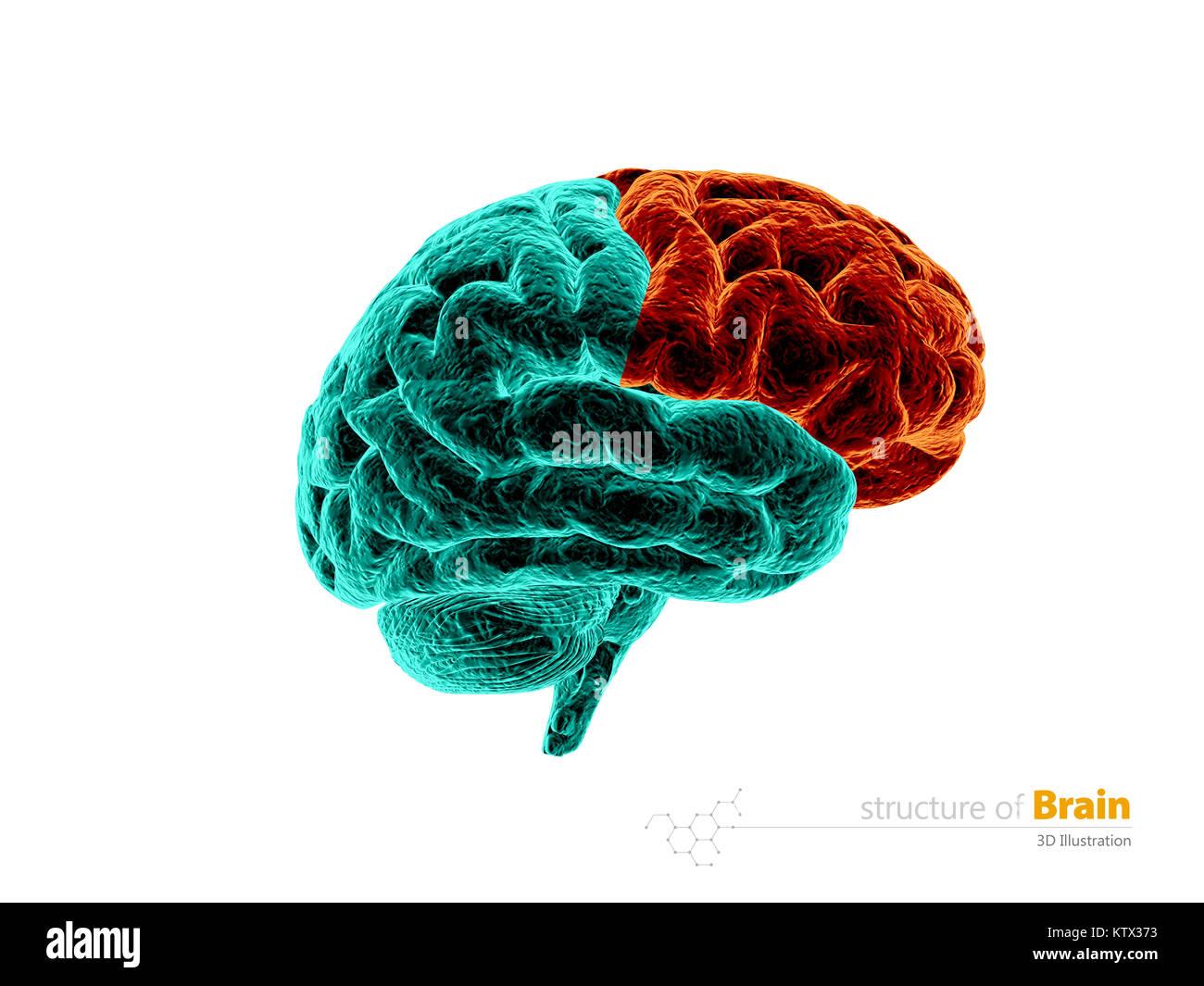 Menschliche Gehirn Frontallappen Anatomie Struktur. Die menschliche ...