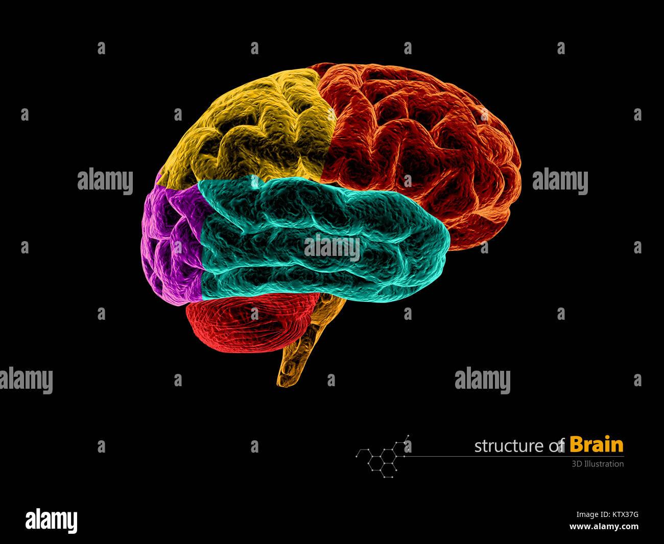 Die menschliche Anatomie des Gehirns Struktur. Die menschliche ...