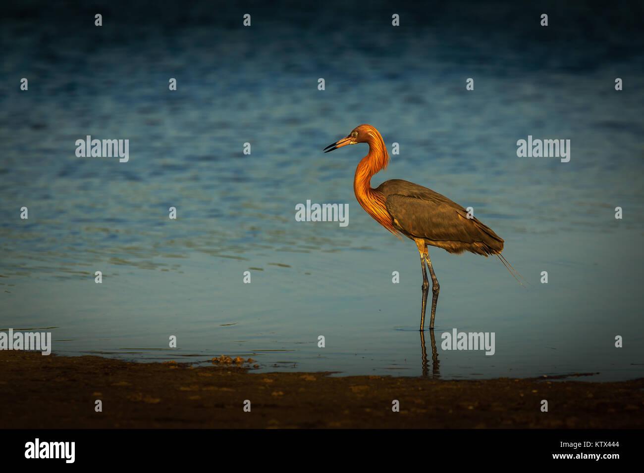 Rötliche Reiher Marco Island, Florida USA Stockbild