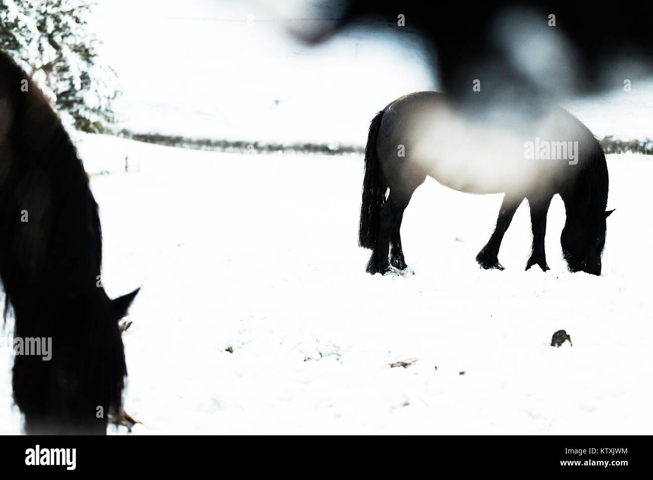 Towford, Jedburgh, Scottish Borders, Großbritannien. 26. Dezember 2017. Fiel Ponys grasen unter tiefen Schnee Stockbild