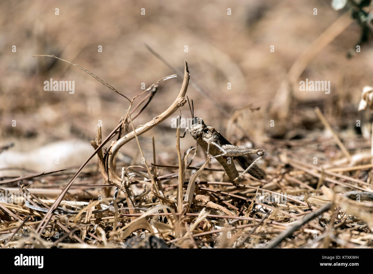 Desert locust versteckte sich in das trockene Gras (Sphingonotus octofasciatus) Stockbild